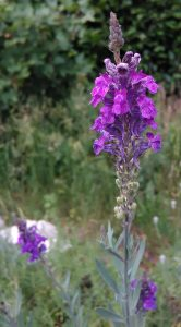 Linaria purpurea Bluete_20170612