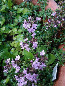 Thymus herbabaroni_20170602