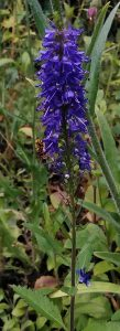 Veronica longifolia Bluete_20170630