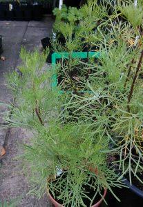 Artemisia Kolastrauch