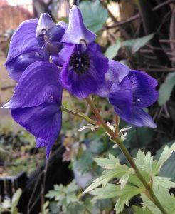 Aconitum carmichaelii Bluete_20171002
