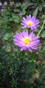 Aster violett Bluete_20171004