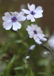 Phlox subulata Bavaria_1 20042018