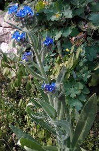 Anchusa officinalis_1 12052018