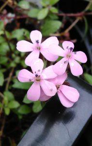 Saponaria ocymoides Bluete 12052018