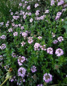 Thymus longicaulis 30042018