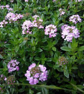 Thymus longicaulis_2 30042018
