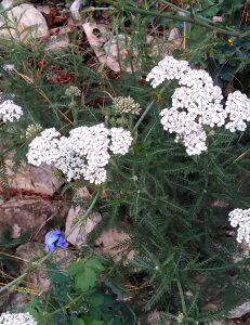 Achillea millefolium 22062018