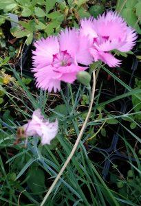 Dianthus plumarius 11062018