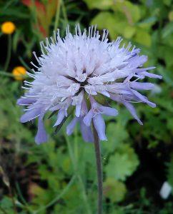 Knautia arvensis Bluete 20062018