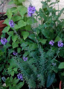 Linaria purpurea 30052018