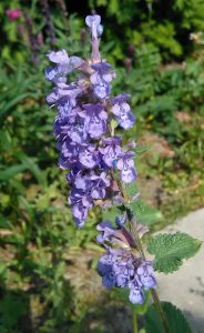 Nepeta racemosa Superba Bluete 15052018