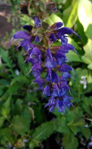Salvia nemorosa Mainacht Bluete 20052018