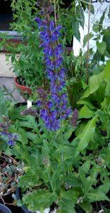 Salvia nemorosa Mainacht_20052018