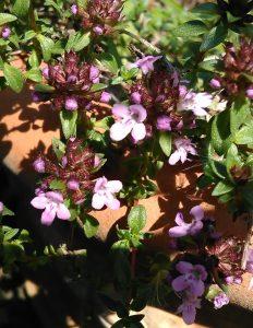 Thymus herbabarona_20052018
