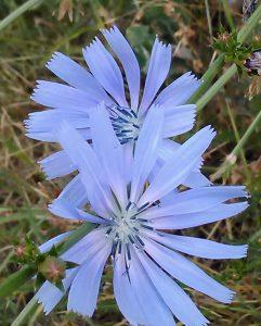 Cichorium intybus Bluete 04072018