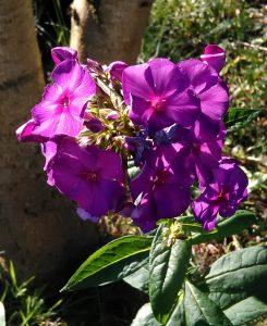 Phlox paniculata Duesterlohe_2 04072018