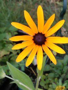 Rudbeckia sullivantii deamii 27082018