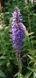 Veronica longifolia Bluete 07072018