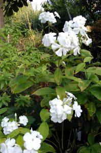 Phlox amplifolia David_2 06092018