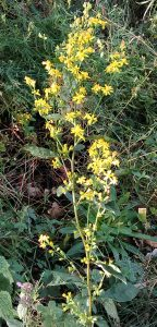 Solidago virgaurea 06092018