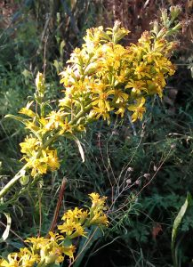 Solidago virgaurea Bluete 06092018