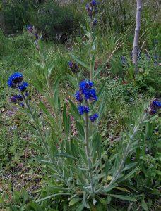 Anchusa officinalis 1_09052019