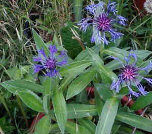 Centaurea montana 2_09052019