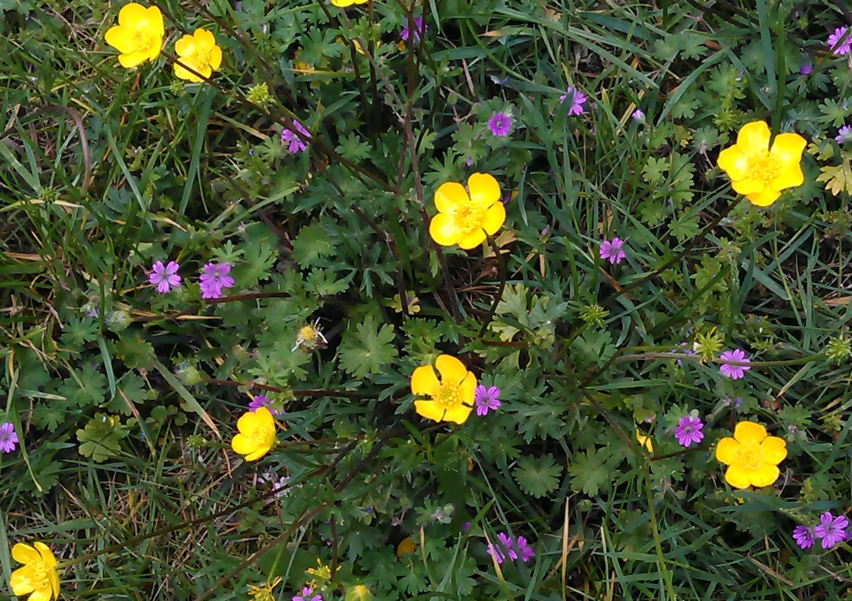 Ranunculus bulbosus_12052019