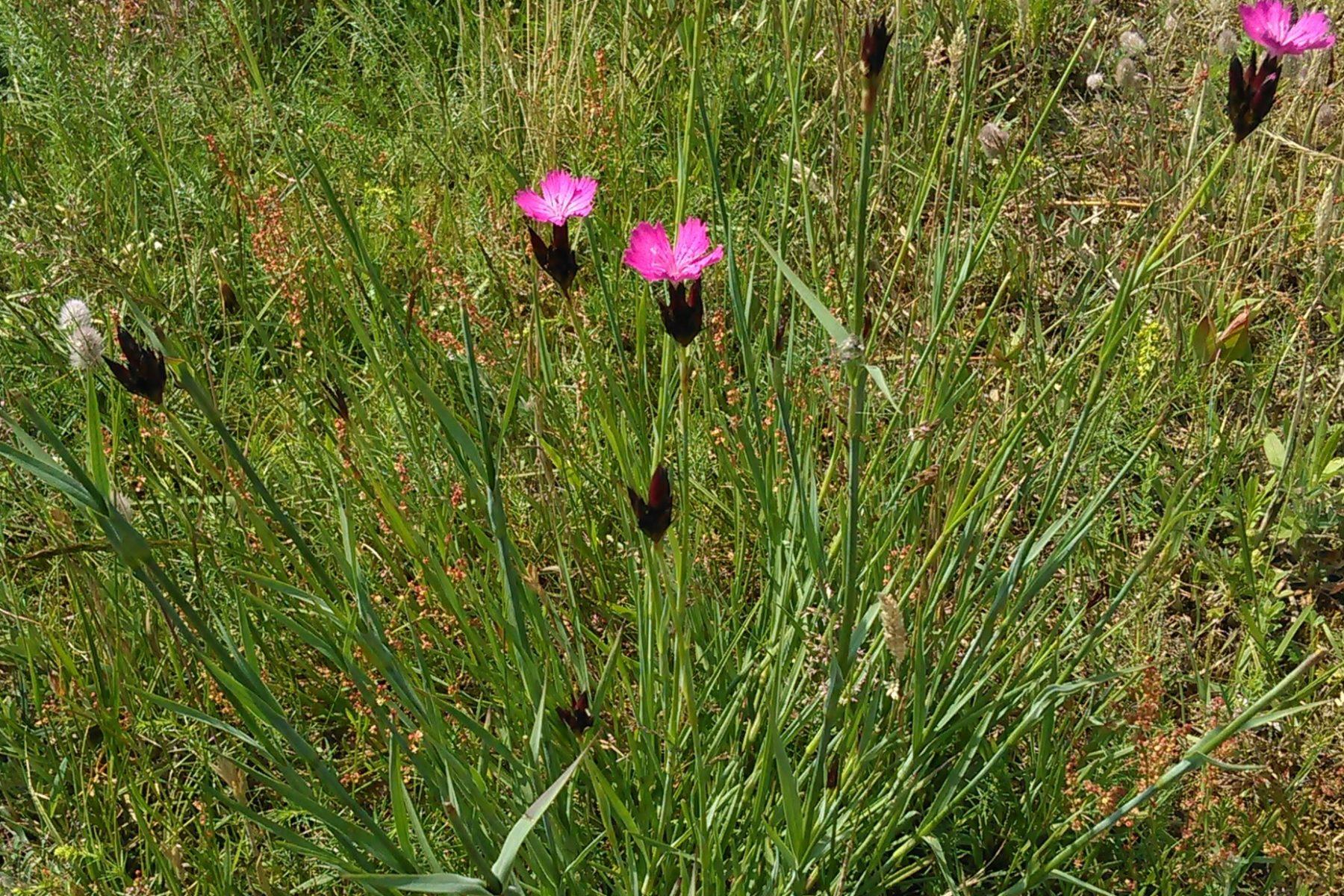Dianthus cartusianorum 22062019