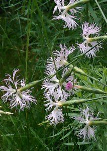 Dianthus superbus 16062019