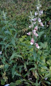 Digitalis lanata_1 18062019