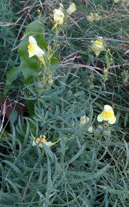 Linaria vulgaris 22092019