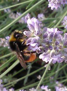 Steinhummel Lavendel 2_22072020